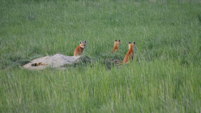 Nature Animals Fox Foxes Grass