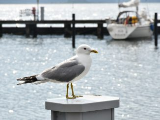 Seagull Sea Port Lake Water Bird