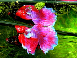Betta Splendens Siam Fighter Fish