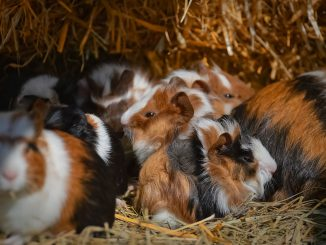 Guinea Pig Nager Rodent Cute Pet