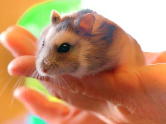 Hamster Pet Rodent Holding