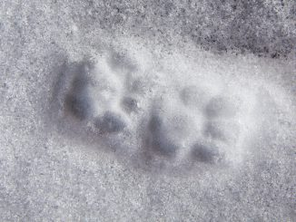 Animal Track Reprint Paw Cat Snow