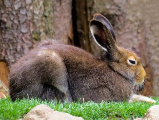 Animals Hare Rodent Long Eared Fur
