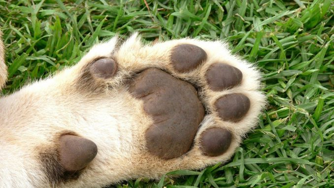 Lion Cub Foot Pads Paw Cat