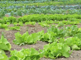 Salad Herbs Vegetables Cultivation