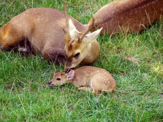 Fawn Petit Deer Nature Animal  - good-seb / Pixabay
