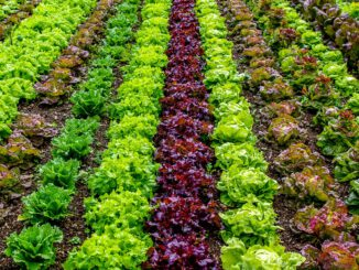 Salad Field Agriculture Vegetables  - Zotx / Pixabay