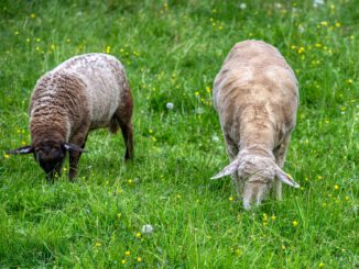 Sheep Two Duo Graze Peaceful  - webentwicklerin / Pixabay