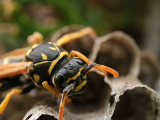 Wasp Insect The Hive Wasp Sting  - Alexan750Der / Pixabay