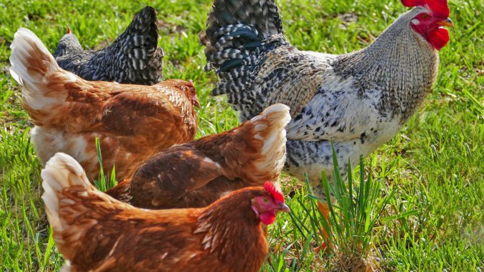 Agriculture Poultry Chickens Hens  - ramboldheiner / Pixabay