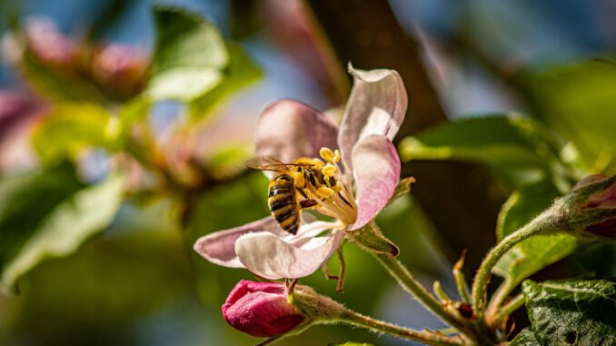 Apple Blossom Flower Bee Insect  - Thragor / Pixabay