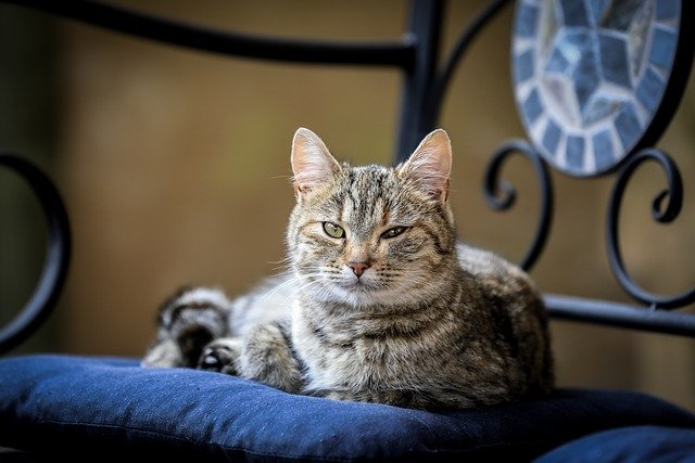 Cat Tabby Pet Animal Domestic Cat - ilyessuti / Pixabay
